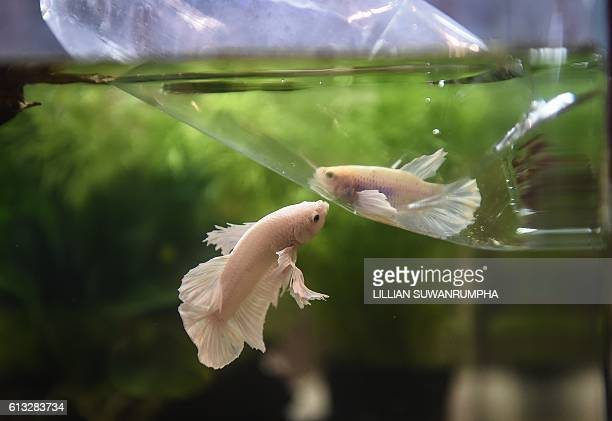 A Siamese fighting fish attempts to nip another fighting fish despite being separated by a plastic bag at a tropical and ornamental fish exhibition...