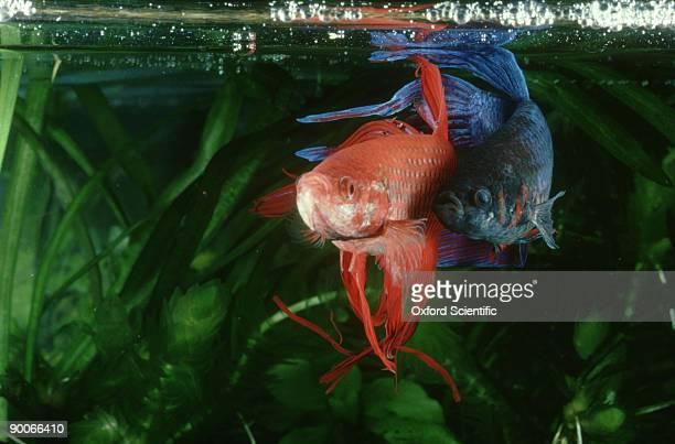 siamese fighting fish: betta splendens, f.w.