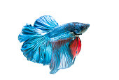 siamese fighting fish, betta splendens isolated on white background, it is popular as an aquarium fish