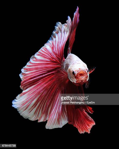 Siamese Fighting Fish In Aquarium
