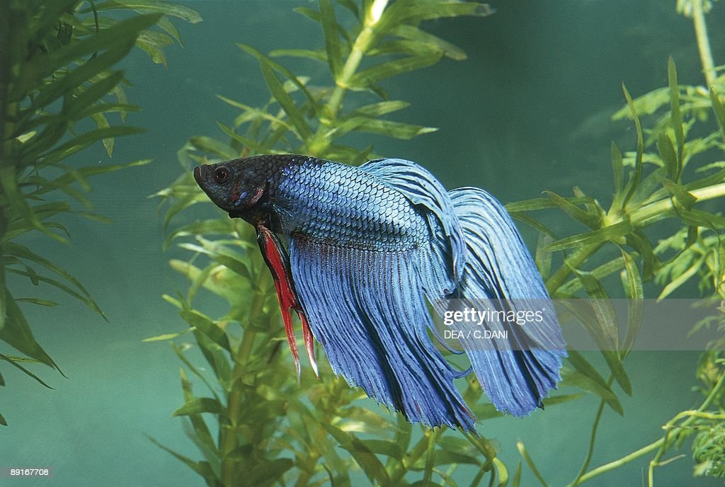 Siamese Fighting Fish In Aquarium Pictures Getty Images
