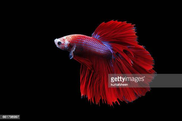 Siamese fighting fish (Betta splendens), Indonesia