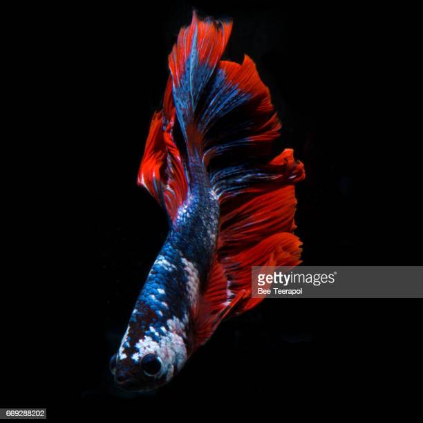 Siamese fighting fish moving moment