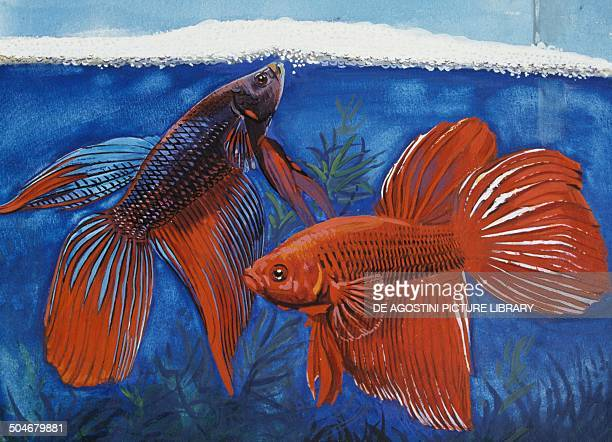 Siamese fighting fish Osphronemidae drawing