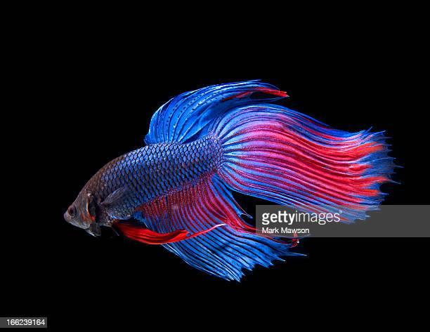 Pesce tropicale d 39 acqua dolce foto e immagini stock for Pesce rosso butterfly