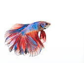 Siamese fighting fish Betta splendens