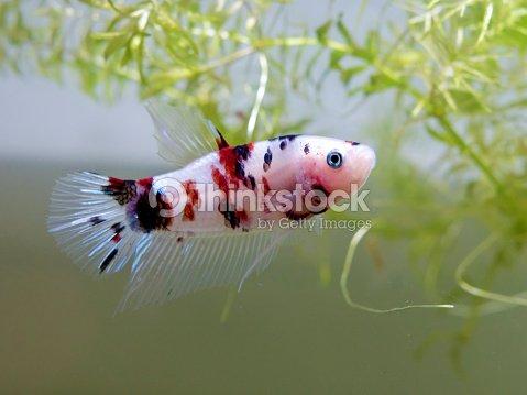Poisson combattant siamois koi style photo thinkstock for Koi poisson prix