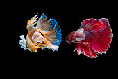 Fighting fish Photography