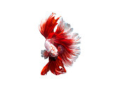 Siamese fighting fish,betta fish