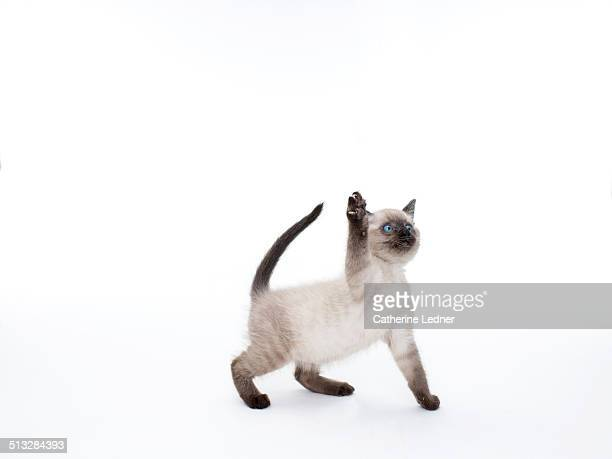 Siamese Kitten Swatting in the Air