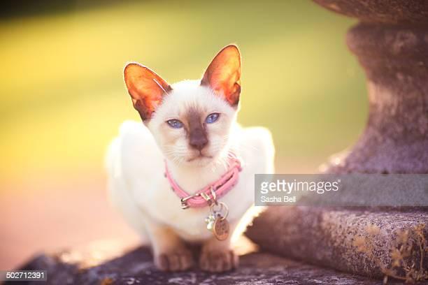 Siamese Kitten with Blue Eyes