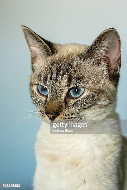 Siamese Lynxpoint kitten against blue background