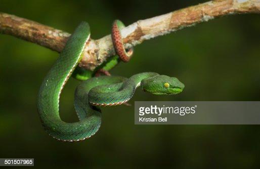 Siamese Peninsular Pit-Viper (Trimeresurus fucatus