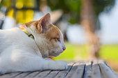Siamese White-Yellow Cat Sunbathe on the floor