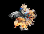 Close-up detail of Siamess fighting fish,colorful half moon isolated on black background.