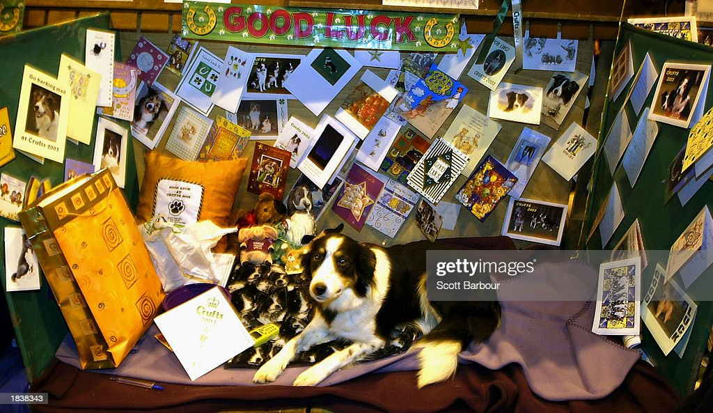 Dog Gifts For Her Part - 45: Sian The Border Collie Sits In Her Kennel Area Surrounded By Cards And Gifts  Wishing Her