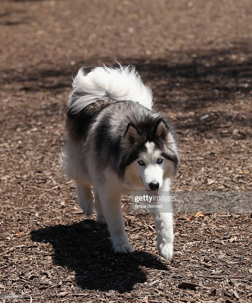 A Siberian huskie walks through the Town of Oyster Bay dog park on July 22, 2012 in Massapequa, New York.