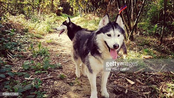 Siberian Huskies In Forest