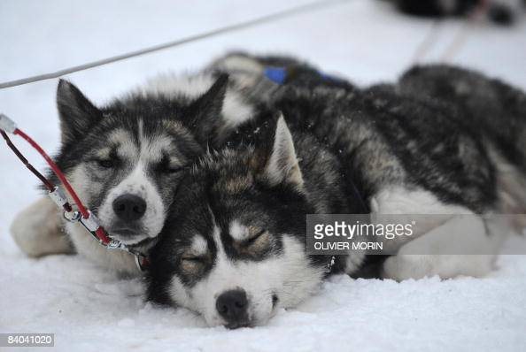 Siberian Huskies rest on December 15 in a Husky farm in Rovaniemi Husky is a general term for several breeds of dogs used as sled dogs Huskies were...