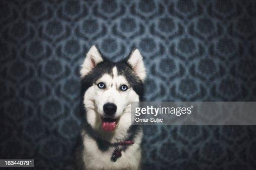 Siberian Husky | Backdrop