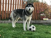 Siberian Husky dog ​​with a ball on a green lawn