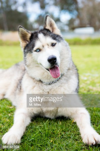 Siberian Husky dog tilting it's head