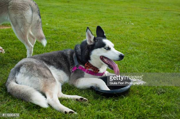 Siberian husky drinking from a bowl
