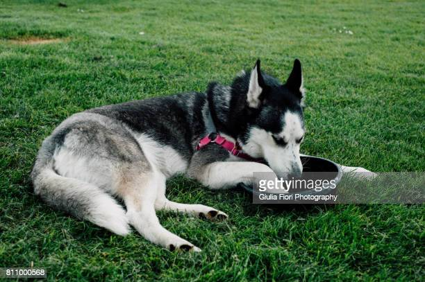 Siberian husky drinking from bowl in a park
