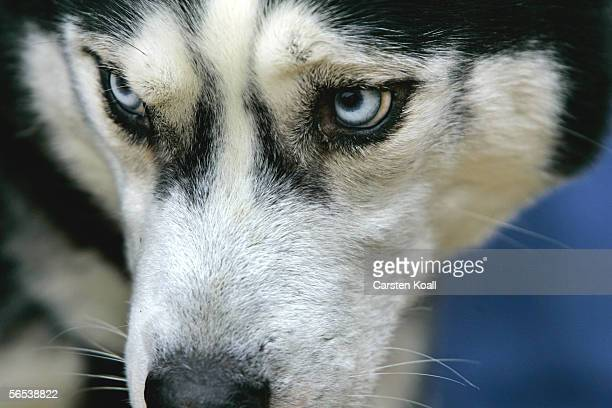 Siberian Husky looks on during the 6th International Dog Sled Racing Competition January 7 2006 in Hasselfelde Germany The competition includes...