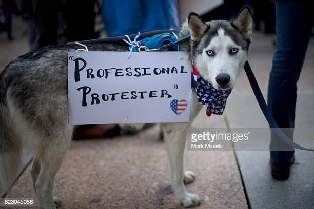 Siberian Husky named Sherman wears a 'Professional Protestor' poster while joining protestors demonstrating against Presidentelect Donald Trump...
