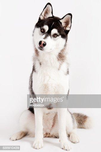Husky siberiano : Foto de stock