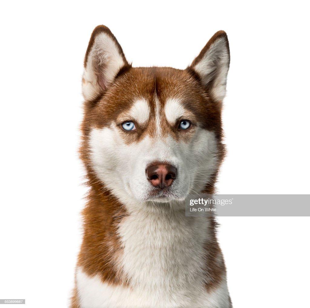 Siberian Husky (2 years old)