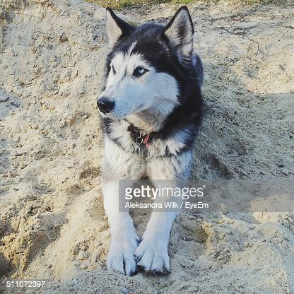 Siberian husky relaxing on sand