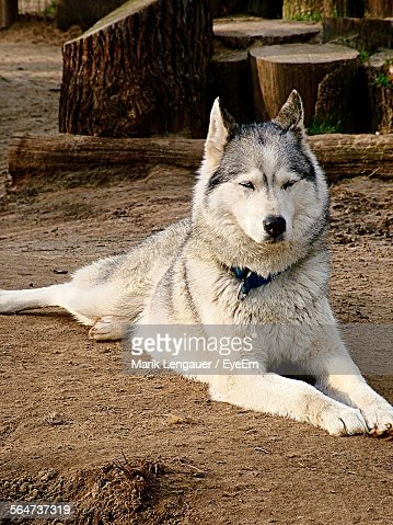 Siberian Husky Resting On Field