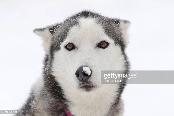 A Siberian Husky rests in the pit during a sled dog sprint at the European championship in central Slovakia's resort of Donovaly on February 12 2010...