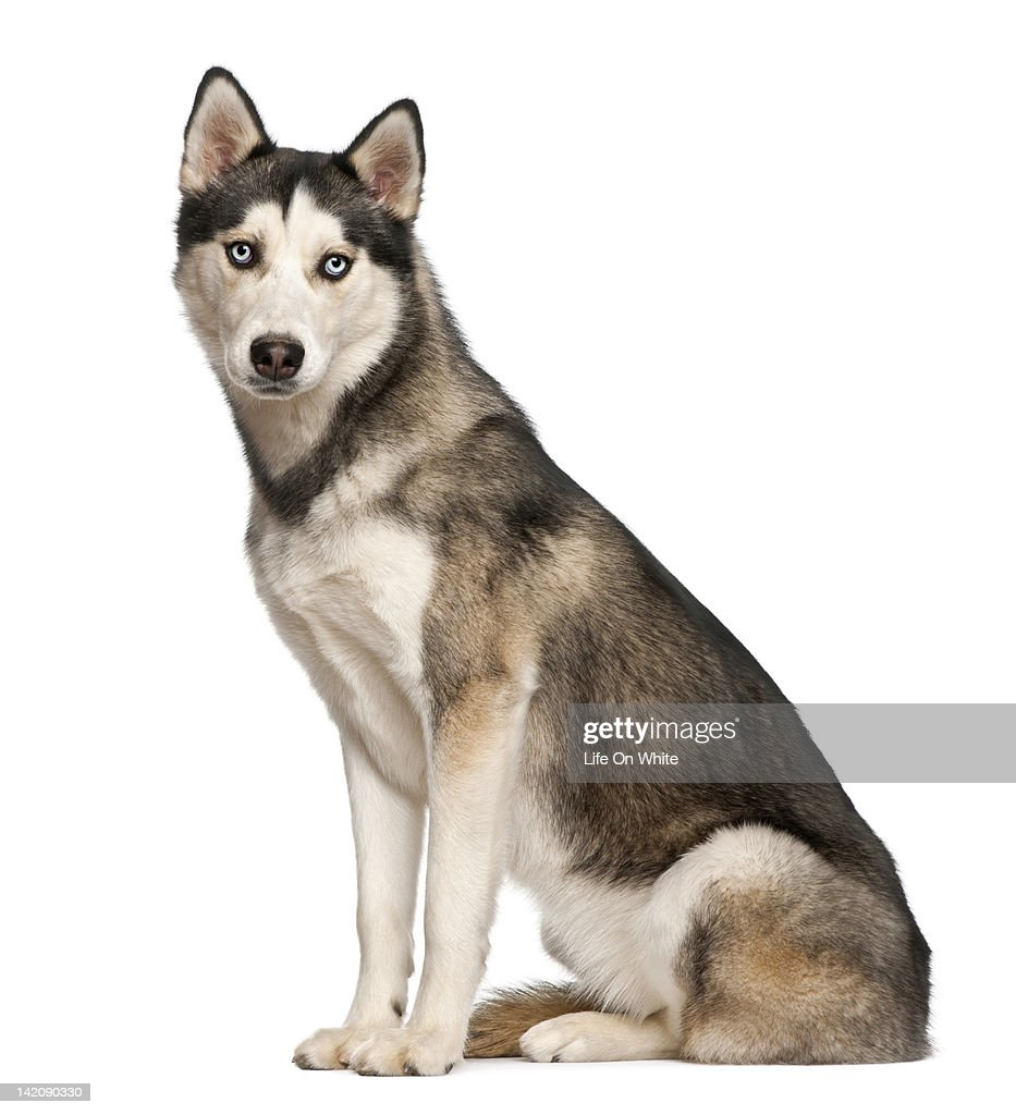 Siberian Husky (8  months old) sitting : Stock Photo