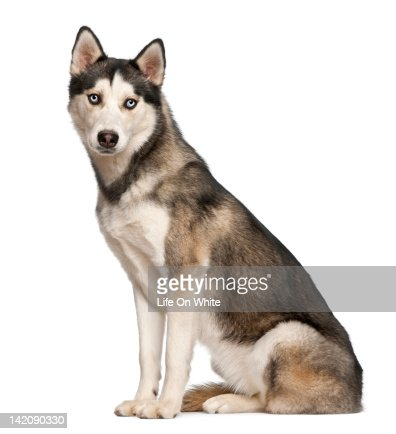 Siberian Husky (8  months old) sitting