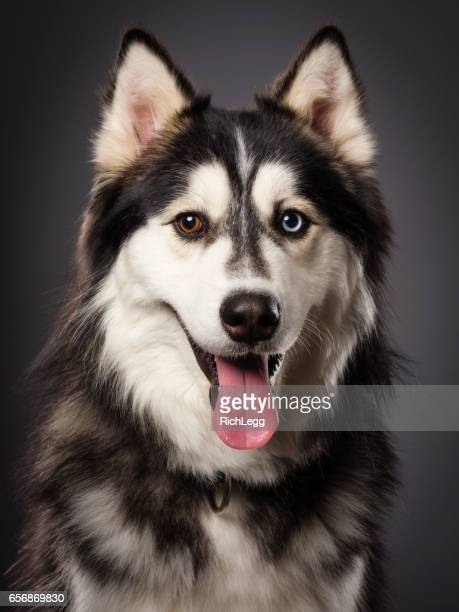 Siberian Husky with Heterochromia