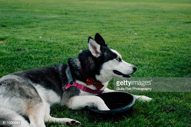 Siberian husky with paw in water bowl