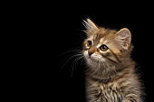 Close-up Portrait of Brown Tabby Siberian kitten looking at side on isolated black background, front view