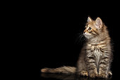 Tabby Siberian kitten sitting and looking at side on isolated black background, front view