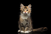 Three colored Tabby Siberian kitten sitting and looking at camera on isolated black background, front view