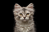 Portrait of Silver Tabby Siberian kitten looking at camera on isolated black background, front view