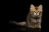 Tabby Siberian kitten sitting and sad looking at camera on isolated black background, front view
