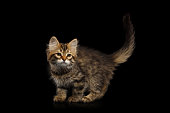 Playful Tabby Siberian kitten standing on isolated black background, side view