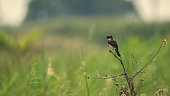 Saxicola maurus is an old world flycatcher which migrates long distances each year.
