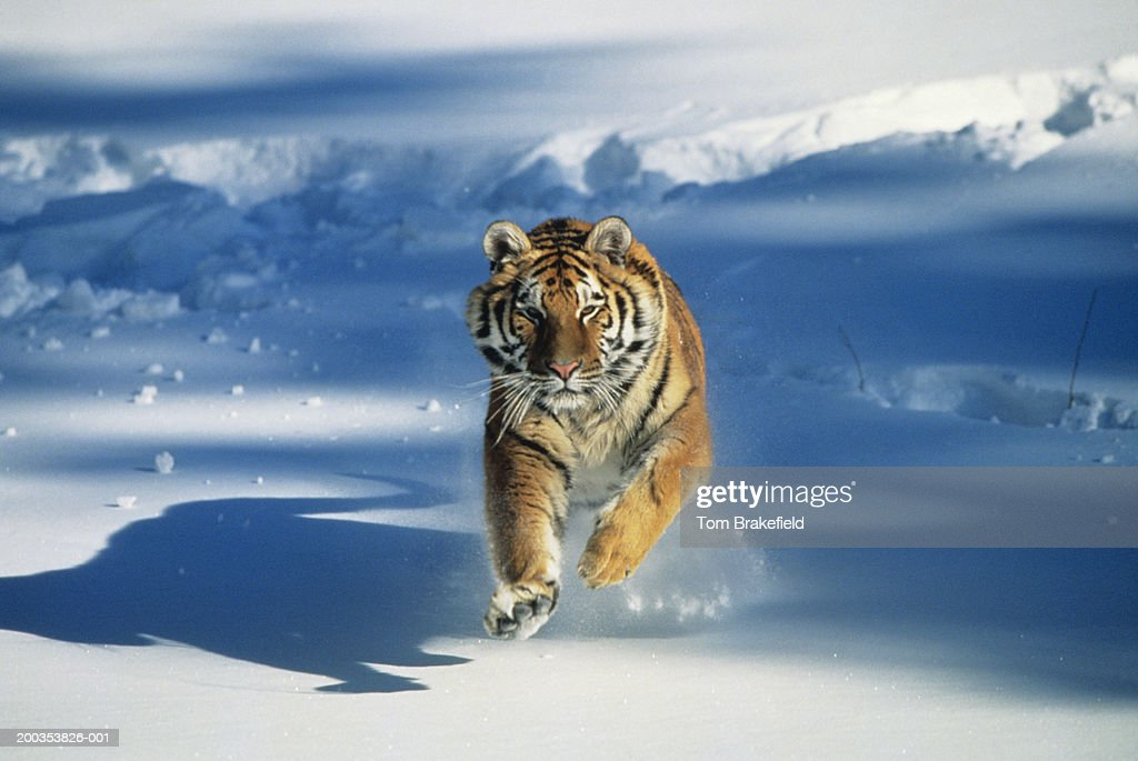 Siberian tiger (Panthera tigris altaica) charging through snow : Stock Photo