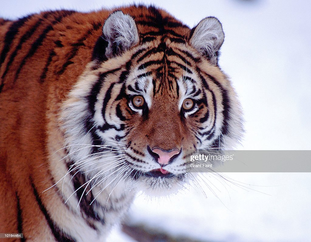 Siberian tiger (Panthera tigris altaica), close up : Stock Photo