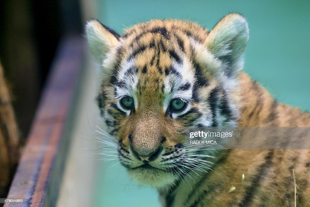 A Siberian tiger cub plays next to its mother Betty during their first outing at the zoo of Olomouc Czech Republic on June 30 2015 Siberian tiger...