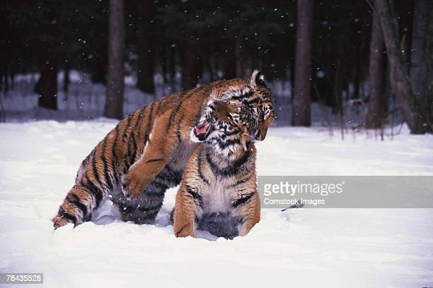 Siberian tiger cubs playing in snow , Siberia